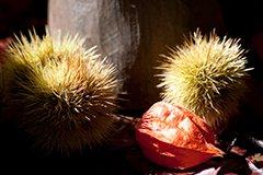 castagna-frutto-tipico